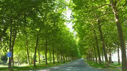新緑のマロニエの並木道 Footage