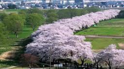 北上展勝地の桜 影片素材