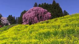 合戦場の桜と菜の花 Footage