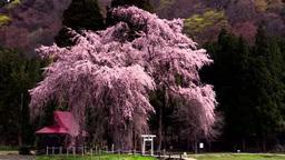 おしら様の枝垂れ桜 Footage