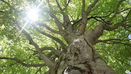 新緑のブナの樹と木漏れ日 Footage