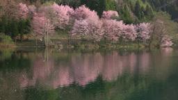 桜吹雪の湖面 Footage