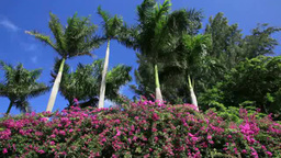 椰子の木とブーゲンビリア Footage