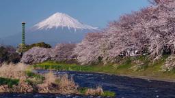 桜並木と富士山(潤井川・ 龍厳淵) 영상물