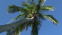 小笠原父島の風にゆれる椰子の木 Footage