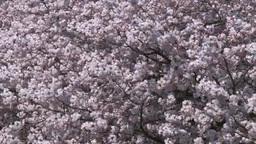 満開に咲く桜の花 Footage