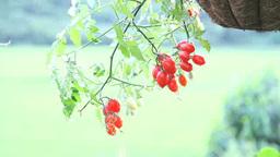 小雨に揺れるハンギングプランター植えのミニトマト Footage
