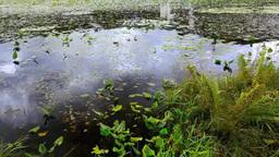志賀高原蓮池のヒツジグサとコウホネ Footage