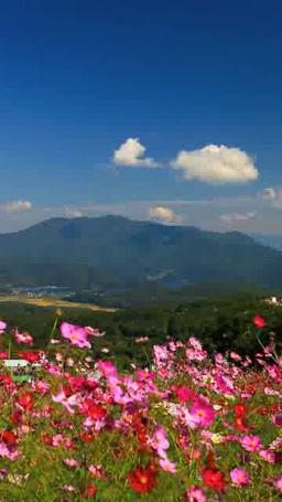 黒姫高原のコスモスと野尻湖と斑尾山 ภาพวิดีโอ
