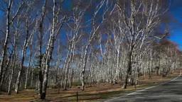 晩秋の美ヶ原高原白樺平の白樺林 Footage