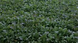 収穫時期の野沢菜畑 Footage