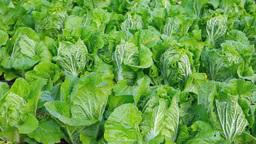 収穫時期の白菜 Footage