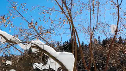 冬の姫川源流自然探勝園の雪が残った樹木 Footage