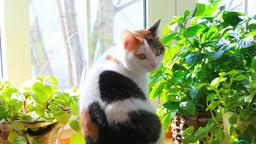 窓辺の三毛猫 Footage