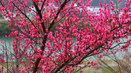 紅梅咲くろうかく梅園とろうかく湖 Footage