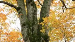 日本一のブナの木 Footage