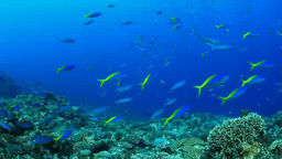 ウメイロモドキとサンゴの海 Footage