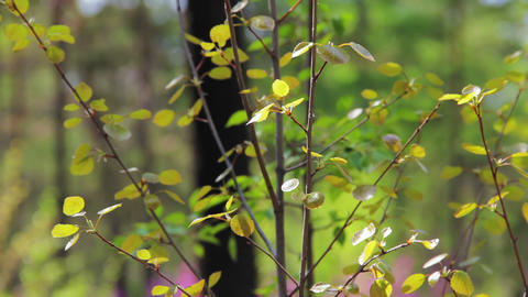 Static shot of birch young tree in autumn while wi Stock Video Footage