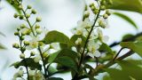 Bird-cherry tree (Prunus Padus) with spring flower Footage