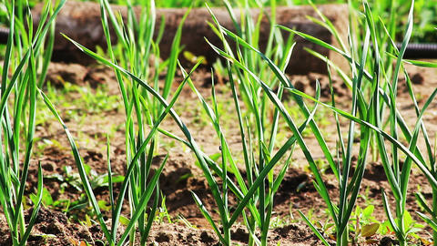 Green shoots of garlic grows in the garden Stock Video Footage