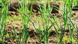 Green Shoots Of Garlic Grows In The Garden stock footage