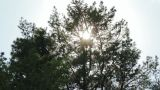 Tilt shot of trees while wind blows and sun shines Footage