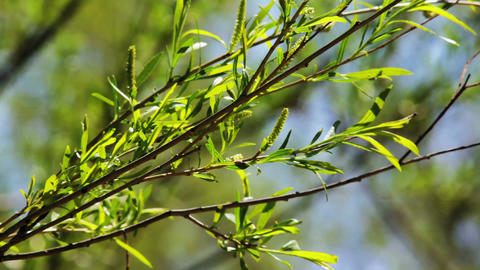 Branches and leaves of willow Stock Video Footage