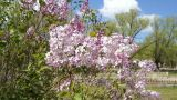 Spring Flowering Lilac Bush Footage