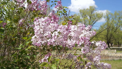 Spring Flowering Lilac Bush Stock Video Footage