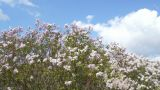 Spring Flowering Lilac Against White Cloud Footage
