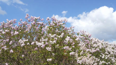 Spring Flowering Lilac Against White Cloud Stock Video Footage