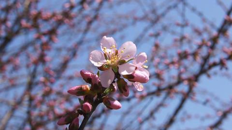 Spring Pink Flower (Armeniaca mandshurica) Stock Video Footage