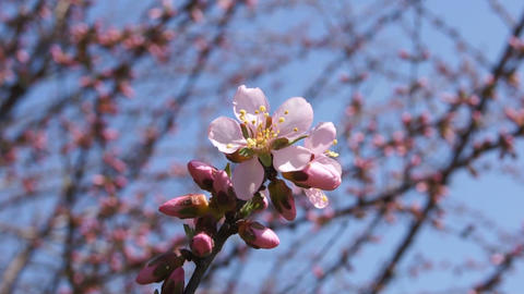 Spring Pink Flower (Armeniaca mandshurica) Live Action