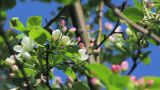 Apple tree buds in spring Footage