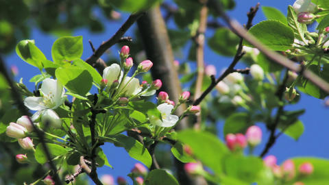 Apple tree buds in spring Stock Video Footage