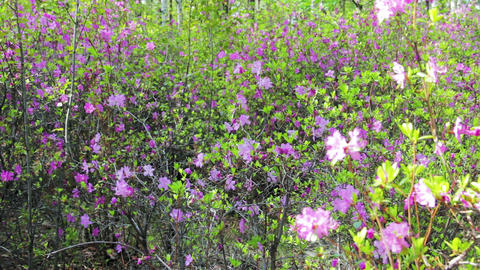 Daurian rhododendron, Labrador tea (Rhododendron d Stock Video Footage