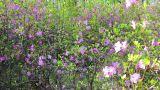 Daurian rhododendron, Labrador tea (Rhododendron d Footage