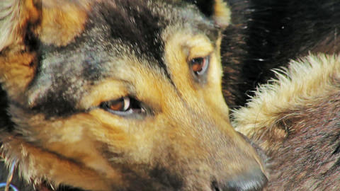 Watchdog looking to the camera Stock Video Footage