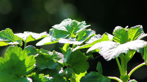 The leaves of black currant bushes Stock Video Footage