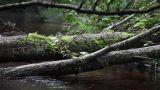 fallen tree Footage