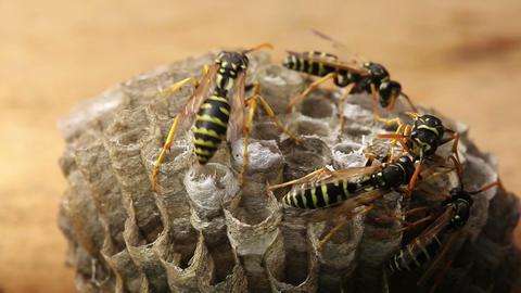 Macro of wasp (Hymenoptera) Stock Video Footage