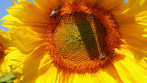 bee pollination on sunflower Stock Video Footage