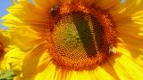 bee pollination on sunflower Footage