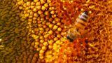 bee pollination on sunflower macro Footage