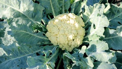 cauliflower in garden Stock Video Footage