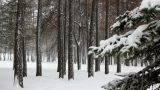 snowfall in winter forest Footage