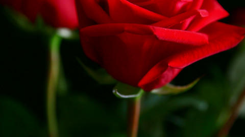 close-up view on red rose, shallow DOF Stock Video Footage
