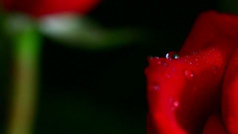 close-up view on red rose with water drops, shallo Stock Video Footage
