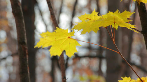 autumn yellow maple leaves Stock Video Footage