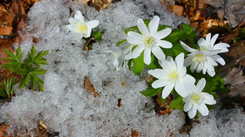 snowdrop flowers and melting snow - timelapse Stock Video Footage